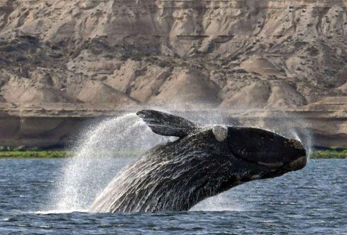 نهنگ حقیقی آرام در آبهای بریتیش کلمبیا مشاهده شد